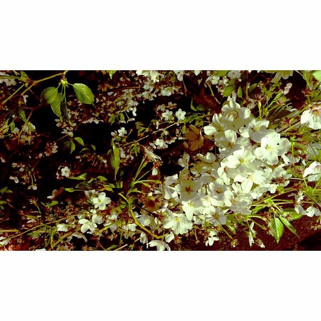 夜桜が好き♡♡♡#sakura #spring #桜 #flower